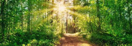 vista al bosque de pinos y abetos en verano Foto de archivo