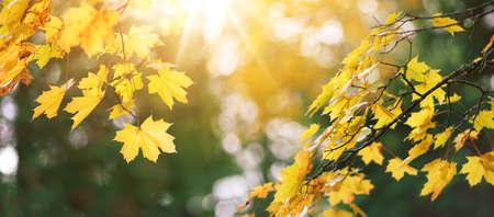 hojas de arce amarillas en otoño con hermosa luz del sol