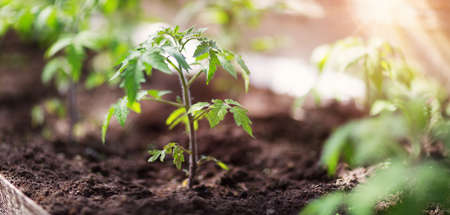 tomato seedling in greenhouse Banco de Imagens