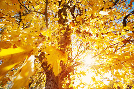 yellow maple leaves in autumn with beautiful sunlight