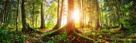 Fir tree woods in early morning with beautiful sunlight Stock Photo