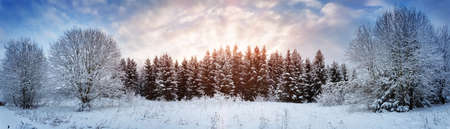 Pine trees in winter landscape at sunset