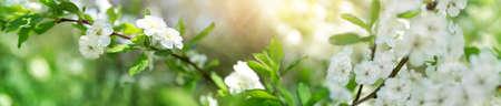 verschwommener Pflaumenbaumhintergrund in voller Blüte. Zweig der Frühlingsblumen an einem schönen sonnigen Tag. Frisches Laub im Frühling im Mai