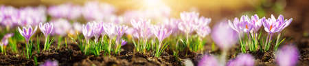 Panoramic view to spring flowers in the park. Crocus blossom on beautiful morning with sunlight in the forest in april Reklamní fotografie