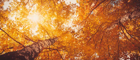 trees with multicolored leaves in the park. birch foliage in sunny autumn. Sunlight in early morning in forest Stok Fotoğraf