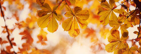 yellow chestnut leaves in autumn with beautiful sunlight. Autumnal foliage with blurry background