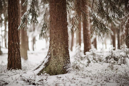 Beautiful trees covered with snow in the winter forest