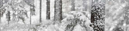 Beautiful fir-tree covered with snow in the winter forest in snowfall