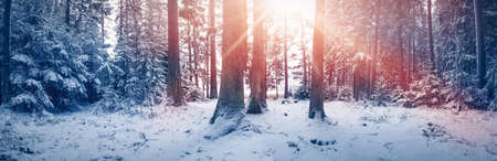 Beautiful trees covered with snow in the winter sunny forest