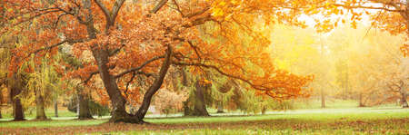 Beautiful oak tree in the autumnal park Banque d'images