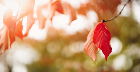 Cherry branch with red leaves on the sunny background in autumnal garden.