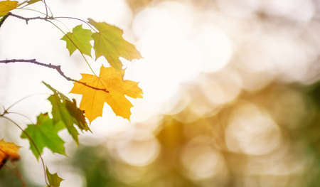 Maple branch with autumnal leaves on the sunny background in the forest.