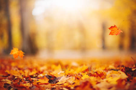 Defocused view of the colorful leaves in the autumnal park.
