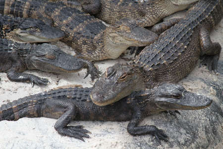 alligators: Florida Alligators Stock Photo