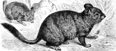 crepuscular: Chinchilla on engraving from 1890. Engraved by unknown artist and published in Meyers Konversations-Lexikon, Germany,1890. Editorial