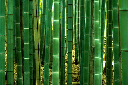 Bambu forest in Kyoto, Japan