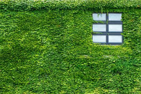 climbing plant: Beautiful window on green wall with climbing plant