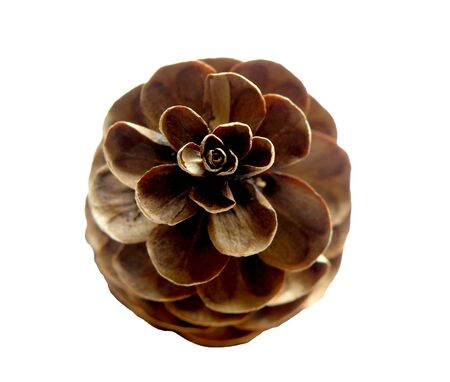 Spruce Pinecone Stock Photo