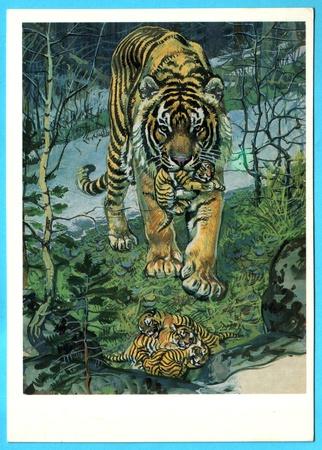 USSR - CIRCA 1990: Postcard shows draw by Artist  Gorbatov - animals of the red book - panthera tigris, circa 1990