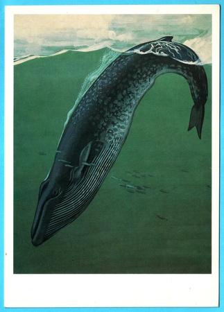 UdSSR - CIRCA 1990: Postkarte zeigt nach Künstler Gorbatow ziehen - Fische im roten Buch - Belaenoptera Musculus (Blauwal), circa 1990