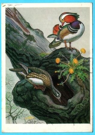 aix galericulata: USSR - CIRCA 1990: Postcard shows draw by Artist  Gorbatov - animals of the red book - aix galericulata (mandarin), circa 1990 Editorial