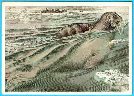 USSR - CIRCA 1989: Postcard shows draw by Artist  Gorbatov - animals of the red book - Atlantic walrus (odobenus rosmarus), circa 1989 Reklamní fotografie - 13575009