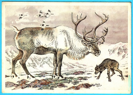 USSR - CIRCA 1989: Postcard shows draw by Artist  Gorbatov - animals of the red book -  Caribou - monarch of the wild (Rangifer tarandus pearyi), circa 1989