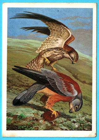 russia steppe: USSR - CIRCA 1988: Postcard shows draw by Artist  Gorbatov - Postcard from the collection of Birds of Russia. Siberia - steppe kestrel (Falco tinnunculus L.), circa 1988