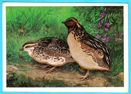 japanese quail: USSR - CIRCA 1988: Postcard shows draw by Artist  Egorov - Postcard from the collection of Birds of Russia. Siberia - Japanese quail (coturnix japonica Temm), circa 1988