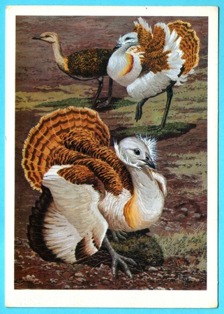 USSR - CIRCA 1988: Postcard shows draw by Artist  Gorbatov - Postcard from the collection of Birds of Russia. Siberia - bustard (otis tarda L.), circa 1988