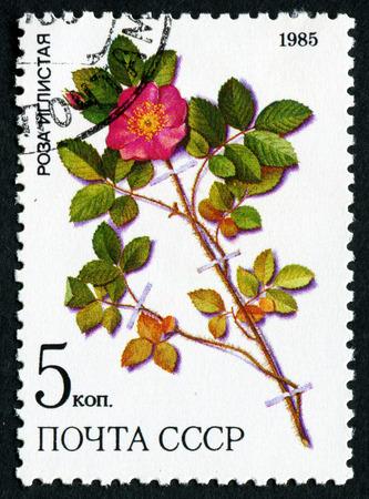 lindi: USSR - CIRCA 1985: a stamp from USSR, shows prickly rose (Rosa acicularis lindi), medicinal plant from Siberia, circa 1985
