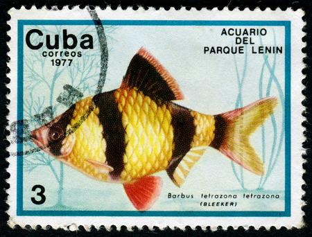 tetrazona: CUBA - CIRCA 1977: a stamp printed by Cuba show the fishes with the inscription Barbus tetrazona tetrazona, Lenin Park Aquarium, Havana. Series, circa 1977
