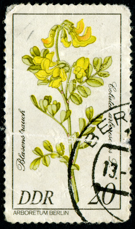 GDR - CIRCA 1981: A stamp printed in GDR shows image of a Flowerses with the inscription ?Golutea arlorescens L Series Arboretum Berlin, circa 1981
