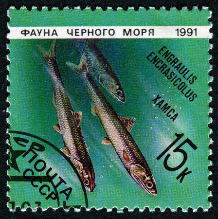 engraulis encrasicolus: USSR - CIRCA 1991: A Stamp printed in the USSR shows an image of the European anchovy, Engraulis encrasicolus, circa 1991.