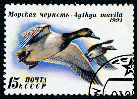 scaup: USSR - CIRCA 1991: A stamp printed in USSR (Russia) shows Greater Scaup (Aythya marila) with the same inscription, from the series Ducks, circa 1991