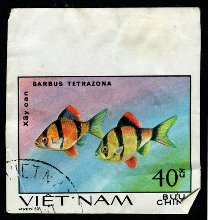 tetrazona: VIETNAM - CIRCA 1980: A postage stamp printed in the Vietnam shows Barbus tetrazona fish, circa 1980 Editorial