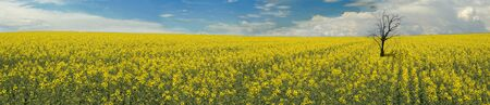 A NICE VIEW OF A CANOLA FIELD