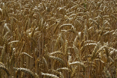 a nice view of a field of wheat photo