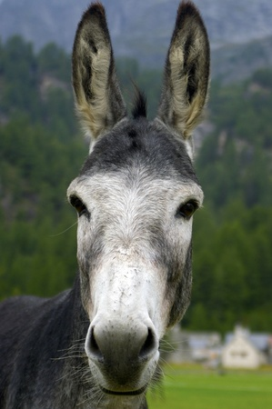 mule: a nice view of a mule Stock Photo