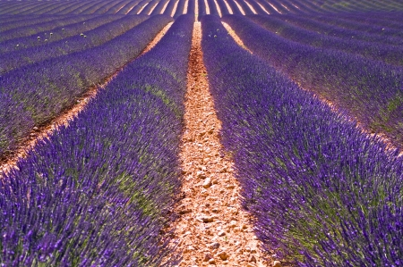 lavender field in Provence,France photo