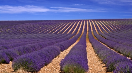 lavender field in Provence,France Stock Photo