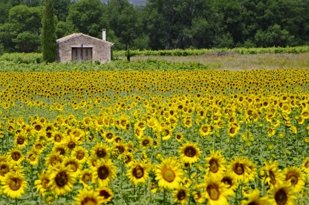 house in a field of sunflowers photo