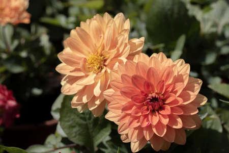 Close-up van de bloem van de tuindahlia. Kleuren en groene bladeren in oranje en rode tinten. Stockfoto