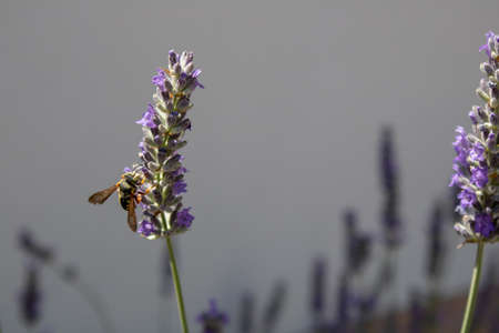 Honey bee is on the close shoot of lavandula angustifolia plant. Stok Fotoğraf