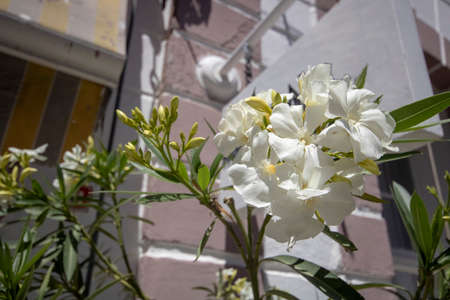 Close-up of white mexcian petunia plant. It was taken on the street. Big buildings in the background.