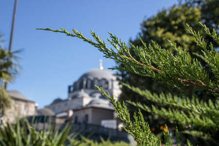 Close-up of branches of Western red cedar tree. Picture of blurred mosque in background. Stock fotó