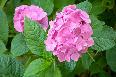 close-up of hydrangea macrophylla plant. Purple and white mix color and combined with leaves. Imagens