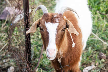 White goat with brown patterns. Yellowed on the grass