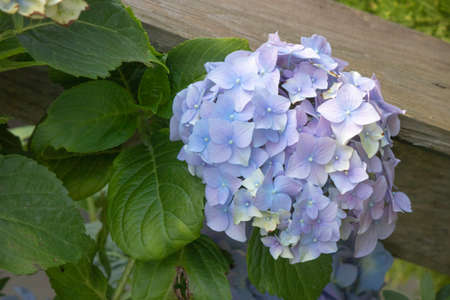 Closeup of Bigleaf Hydrangea flower. In the blue hue.