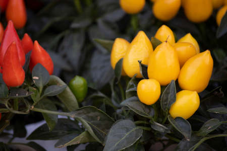 Bird chilli and chilli Capsicum frutescens. Close up Imagens